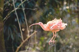 foto of scarlet ibis  - Red Ibis shaking his wings from water - JPG