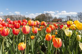 pic of farmhouse  - Colorful Tulip field with farmhouse in the Netherlands - JPG
