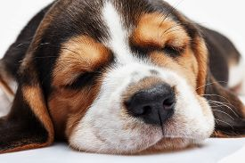 pic of puppy eyes  - Beagle Puppy - JPG