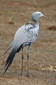 stock photo of long-legged-birds  - Blue crane bird with long legs and tail feathers - JPG