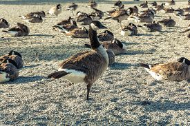 stock photo of honkers  - View of Canada geese on the shore of the Del Valle Lake - JPG