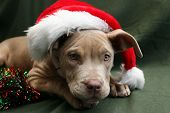 picture of christmas dog  - Cute pitbull pup wearing a Santa hat - JPG