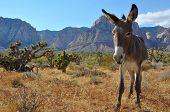 picture of burro  - Wild burro hangs out in the Mojave desert near Las Vegas - JPG