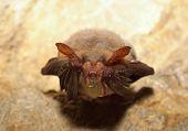 Lesser mouse-eared bat (Myotis blythii) poster