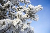 Furry Pine Branches In The Snow Decoration poster