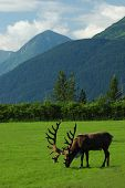 stock photo of caribou  - A world record antlered Caribou at alaska Wildlife Conservatoty - JPG