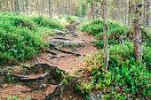 Footpath In The Forest Is Covered With Tree Roots poster