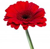 Vertical red gerbera flower with long stem isolated on white background poster