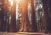Giant Ancient Sequoias Woodland. Sierra Nevada World Famous Sequoias National Park. California, Unit poster