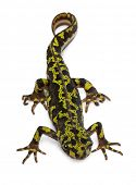 pic of newt  - Marbled Newt  - JPG