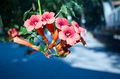 Close Up Of The Big Salmon Pink Colored, Trumpet Shaped Flowers Of Trumpet Creeper Or Trumpet Or Cow poster