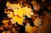 Orange Yellow Autumn Maple Leaves Close-up. Colorful Maple Tree On Sunny Bokeh Background. Amazing V poster