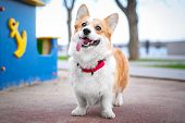 Happy And Active Purebred Welsh Corgi Dog Outdoors In The Park On A Sunny Summer Day. poster