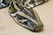 stock photo of harmless snakes  - Closeup of the head of a python snake in the sand - JPG
