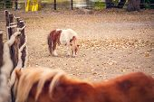 Pony Horse- Pony Horse On A Farm Outdoors - Pet Animal poster