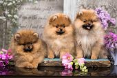 Beautiful orange dog - pomeranian Spitz. Puppy pomeranian dog cute pet happy smile  in flowers poster