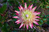 foto of fynbos  - Giant king protea flower in fynbos of Western Cape South Africa - JPG
