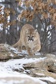 stock photo of mountain lion  - Cougar coming out of forest in winter - JPG