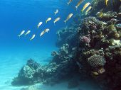foto of undersea  - coral reef with shoal of goatfishes on the bottom of tropical sea  - JPG