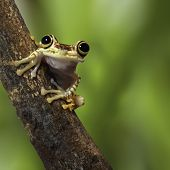 picture of nocturnal animal  - tree frog Ecuador tropical Amazon rainforest treefrog on branch in exotic rain forest cute small amphibian and nocturnal animal - JPG