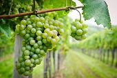 picture of cluster  - White Grapes in a Vineyard - JPG