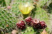 stock photo of stippling  - red cactus fruits on the cactus with a yellow cactus blossom in the background - JPG