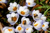 picture of time flies  - Bees collecting pollen from Crocus in spring - JPG