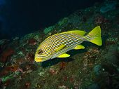 Yellow Lined Sweetlips