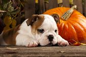 stock photo of bulldog  - English bulldog and a pumpkin - JPG