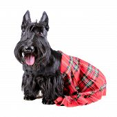 stock photo of kilt  - Scotch terrier in a red scotland tartan sitting on a white background - JPG
