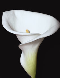 stock photo of single flower  - white calla lilly on a black background - JPG