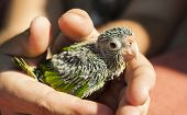 image of parakeet  - Hands holding a baby orange - JPG