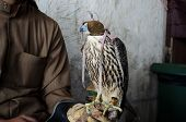 stock photo of falcon  - Falconer with his falcon used for falconry a favorite arab sport.
