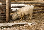 pic of log fence  - Goat grazing near a log fence spring day - JPG