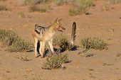 foto of jackal  - One Black backed jackal play with large feather in a dry desert having fun