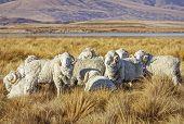 image of ram  - Flock of merino rams on a ranch  - JPG