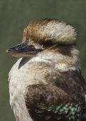 pic of kookaburra  - laughing kookaburra  - JPG