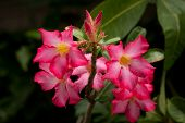 pic of desert-rose  - Pink Impala Lily Or Desert Rose Flowers - JPG