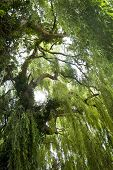 stock photo of weeping willow tree  - An image taken standing inside the weeping willow branches looking up at the centre of the tree - JPG