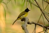 picture of bulbul  - beautiful black - JPG