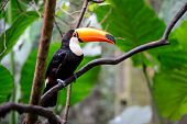 image of toucan  - The Toucan National park Iguazu in Brazil - JPG