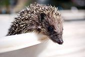 foto of average looking  - Muzzle Eurasian hedgehog on light background closeup - JPG