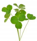 stock photo of sorrel  - Oxalis acetosella  - JPG