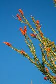 stock photo of ocotillo  - Ocotillo Cactus Blossoming in Spring Joshua Tree National Park California - JPG