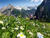 stock photo of meadows  - Mountain flower meadow in the Austrian Alps - JPG