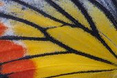 image of monarch  - Macro close up of an Monarch Butterfly Wing