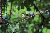 stock photo of great tit  - One of many Great Tits that frequent my Urban garden feeding on peanuts from a feeder - JPG