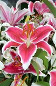 picture of stargazer-lilies  - Beautiful pink stargazer lilies blooming in spring - JPG