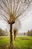 pic of row trees  - willow trees in a row in autumn - JPG