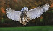 picture of owls  - Snowy owl about to land and crying - JPG